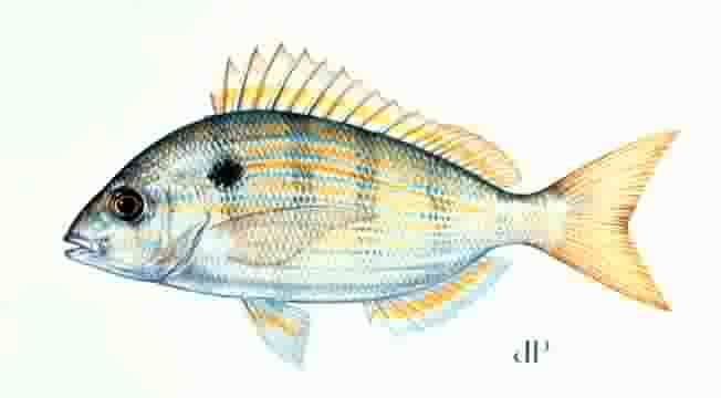 Image result for pinfish